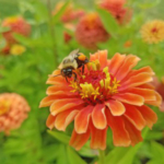 LocalMichigan State University Extensioneducators are partnering withMSUresearchers to create threePollinator Health Meetingsthis spring to discuss projectsMSUand the opportunities in your area for supporting pollinators. (Photo by Mallory Fournier, MSU)