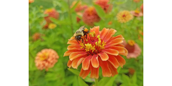 Local Michigan State University Extension educators are partnering with MSU researchers to create three Pollinator Health Meetings this spring to discuss projects MSU and the opportunities in your area for supporting pollinators. (Photo by Mallory Fournier, MSU)
