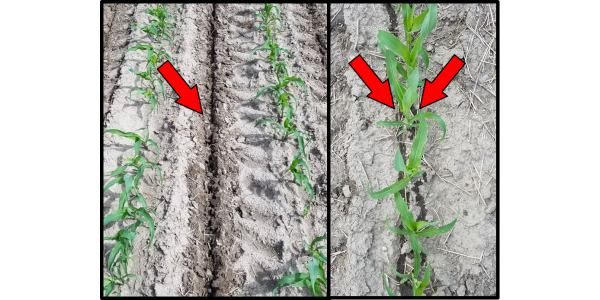 Figure 1. Coulter-inject (left) compared to Y-drop (right) N sidedress application methods. Arrows indicate N placement. Coulter-inject placed N 4 inches deep directly in-between 30-inch corn rows while Y-drop placed N on soil surface near growing plant. (Courtesy of MSU Extension)