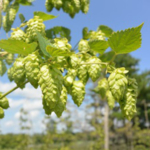 Iowa State University Extension and Outreach will host a workshop on April 14 that focuses on cultivating successful hop production practices. (Courtesy of ISU Extension and Outreach)
