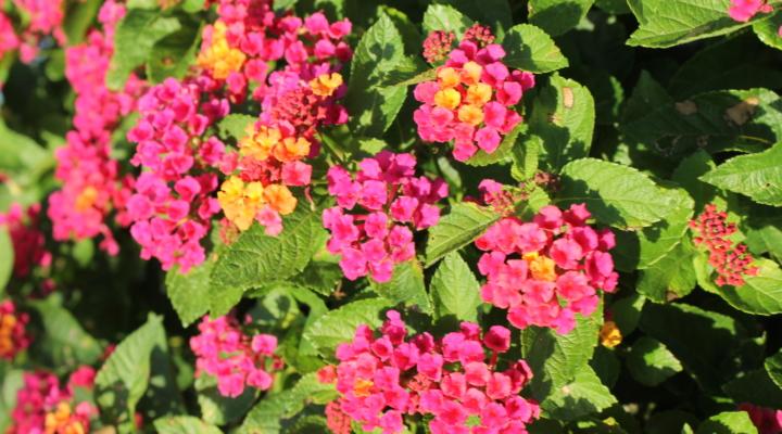 New Lantana Plants Protect Native Flora Enhance Landscapes