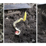 Figure 1. Planting into cold soil (below 50°F) when cold conditions are expected for the next 48 hours can lead to germination problems and seedlings not emerging or not emerging well. 1a. Corn seedling that started leafing out below ground and now has twisted leaves which will delay or negate normal plant development.. Figures 1b-c. Unemerged seedlings attempting to leaf out belowground. None of the seedlings shown should be counted as a productive plant. (Courtesy of UNL)