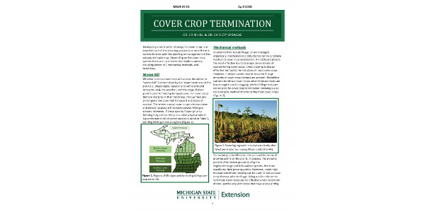 Complete termination of a cover crop is essential to prevent poor seed placement of the cash crop, allelopathy, potential insect issues such as seed corn maggot, and crop competition. Failed or incomplete termination often deters future cover crop use. (Courtesy of MSU Extension)