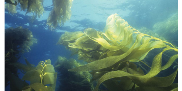 A Colorado State University project to grow and harvest ocean macroalgae for biofuel production has received support from the Department of Energy's Advanced Research Projects Agency-Energy (ARPA-E). (Courtesy of CSU)