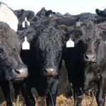 Drought in many parts of Kansas is creating challenges for producers to maintain farm ponds, an important supply of water for cattle. (Courtesy of K-State Research and Extension)