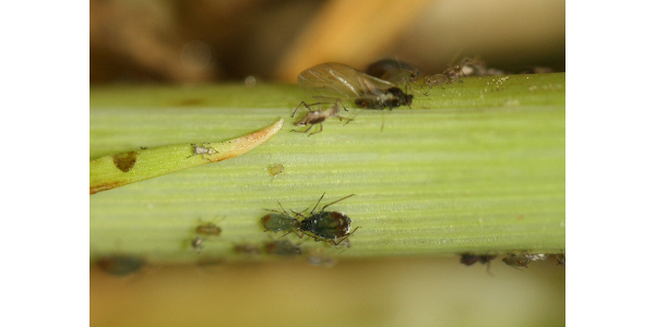 Figure 1. Several stages of bird cherry oat aphids. (Photo: Yaziri Gonzales, UK)