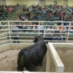 A Lynn McElhaney, Republic Angus bull searches the seats for another bid. He brought $4000 at the tested bull sale March 26. (Photo credit: MU Extension)