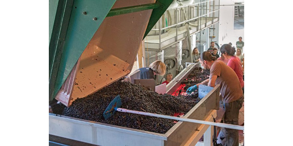 Students observe as red grapes harvested from the Wollersheim Winery vineyard are sorted prior to crushing and destemming. (Photo by Ben Vincent)