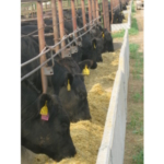 These cattle consigned to the North Dakota Angus University program at NDSU's Carrington Research Extension Center will provide producers with information on how Angus-sired cattle can perform in a feedlot. (NDSU photo)