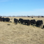 The first 60 to 90 days after cows have calved are the most demanding in a cow's production cycle. (NDSU photo)