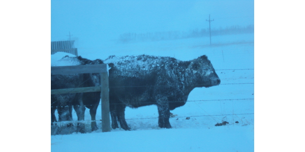 The Livestock Indemnity Program provides assistance for livestock deaths in excess of normal mortality that are a direct result of eligible loss conditions, such as adverse weather. (NDSU photo)