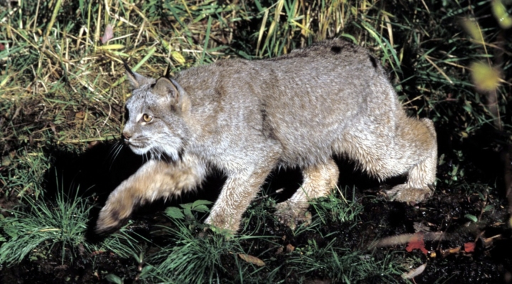 New parasite, virus found in Canada Lynx