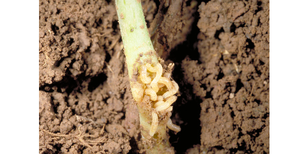 Figure 1. Root and stem maggots attack a wide range of crop seeds and seedlings. (Photo: Ric Bessin, UK)