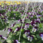 The advent of spring signals a very hectic time for greenhouse growers in Michigan. (Photo by Jeremy Jubenville, MSU Extension)