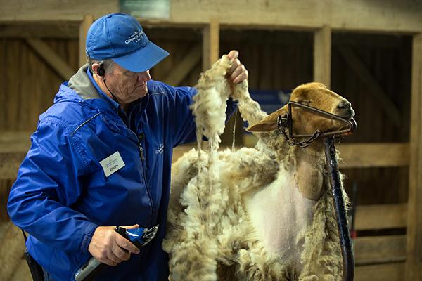 Shear Fun returns to Conner Prairie this weekend