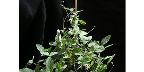 Australian vine can boost soybean yield