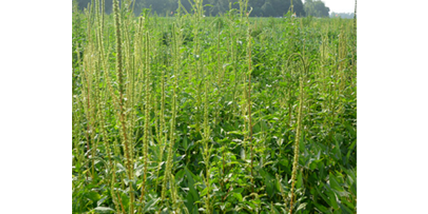 The idea is to use genetic modification techniques to change the sex ratio – the ratio of males to females – in waterhemp and Palmer amaranth populations. Theoretically, with the right genetic manipulation, every mating would result in only male offspring. (Courtesy of University of Illinois)