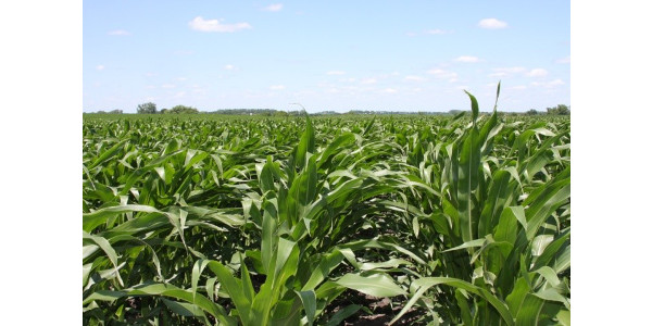 There are many advantages to planting corn after alfalfa, including greater yield potential, reduced nitrogen needs from fertilizer or manure, and reduced pest pressure compared to when corn follows other crops. (Courtesy of University of Minnesota Extension)
