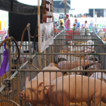 Swine influenza is a regular occurrence in commercial hog farms. When influenza is associated with human illness, a whole new set of issues arise, however – especially when it affects exhibitors or visitors to a pig show. (Courtesy: Lee Cannon [CC BY-SA 2.0])