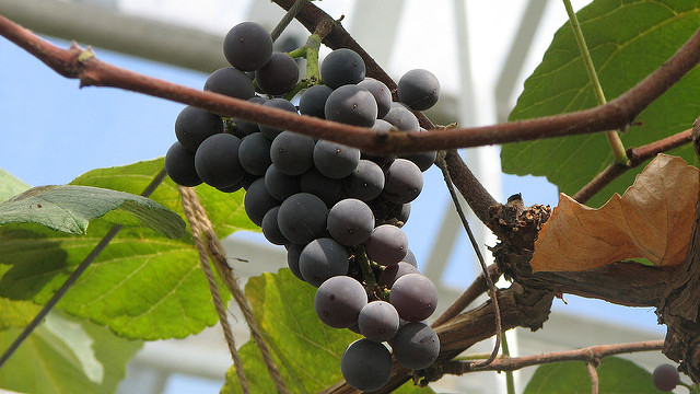 Promoting NY's Concord grape industry