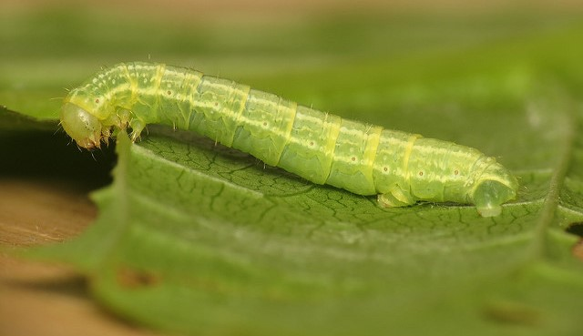 Parasitic flies emerge to battle winter moth