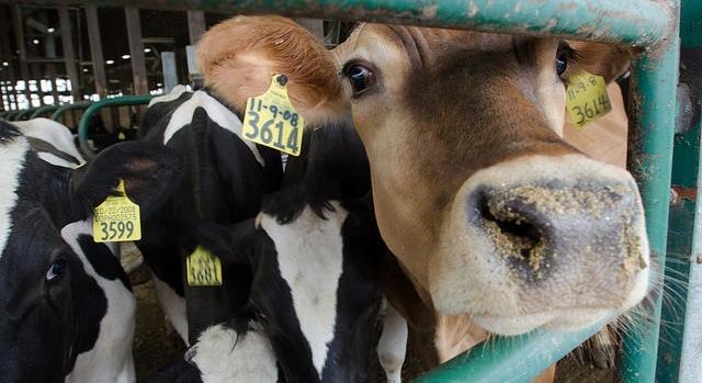 CDFA awards $213,349 dairy research grant