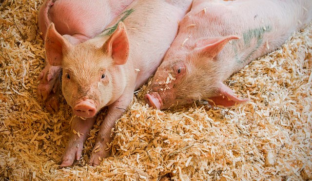New pig virus a potential threat to humans