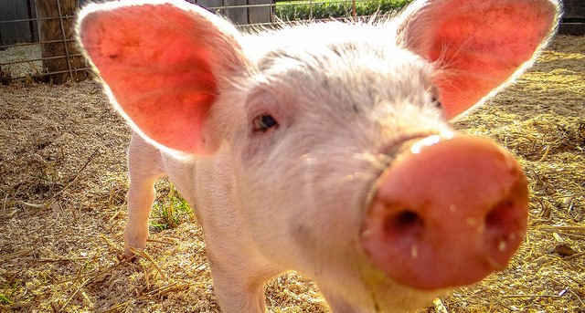 Farmer pleads not guilty to animal cruelty