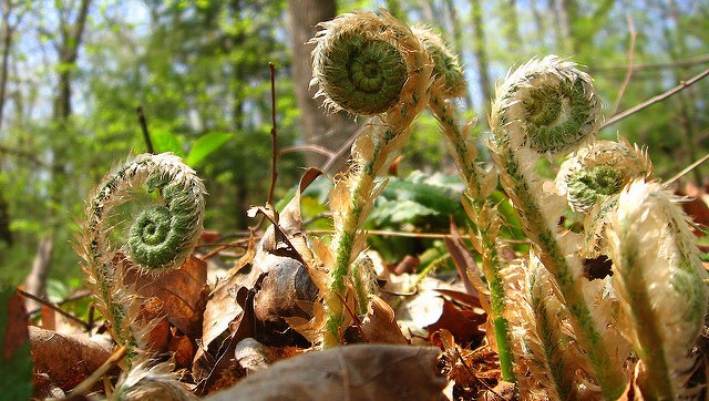 Maine fiddleheads safe despite warnings in Canada