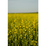 K-State will host canola field days May 18, 2018 in Kingman County and May 30, 2018 in Harper County. (Courtesy of K-State Research and Extension)