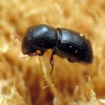 black stem borer