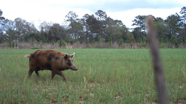 Okla. ranchers address wild hog overpopulation