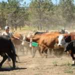 Nebraska Extension is hosting a two-part cattle sorting school and competition, 9 a.m. June 30 at Fonner Park in Grand Island. (Loren Kerns via Flickr)