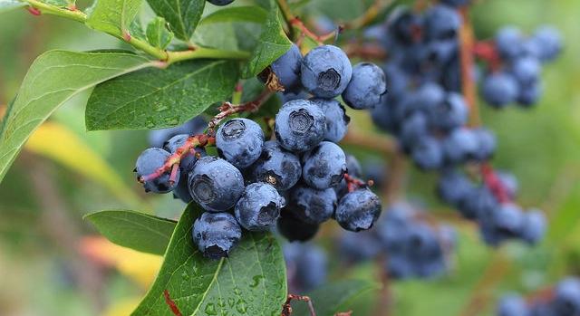 Frozen berries for fresh produce program?