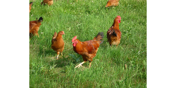 Backyard Chickens And Flies manure management for backyard chickens | morning ag clips