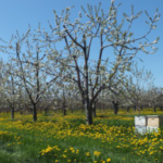 If the drive rows of your fruit crop contain flowering weeds, it is important to mow them off before applying plant protectants to protect pollinators. (Photo: Emily Pochubay, MSUE)