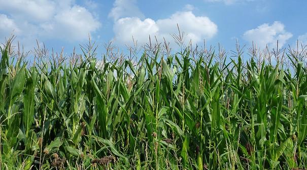 Class action settlement regarding Syngenta corn