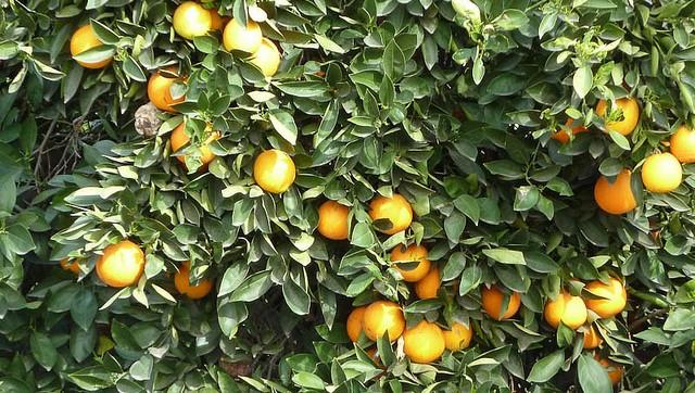 New study reveals economic impact of Calif. citrus