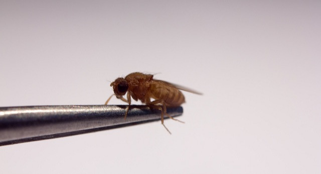 Fruit flies pose food safety risk