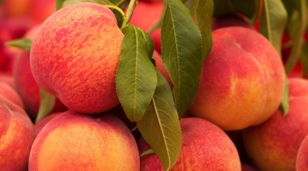 Peach growers ready for plentiful crop