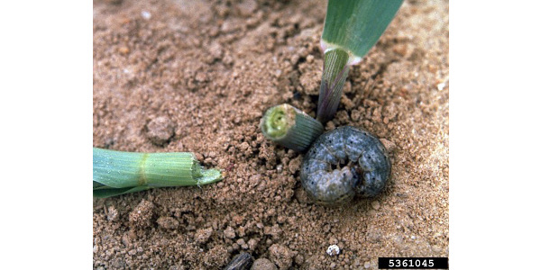 Farmers should be on the look out for black cut worm in their corn fields. (Courtesy of University of Illinois Extension)