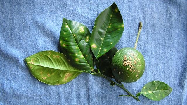 Researchers crack citrus canker defense system
