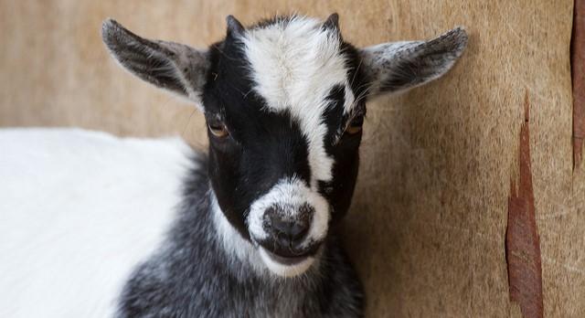 Sheep and goat health seminar May 12th