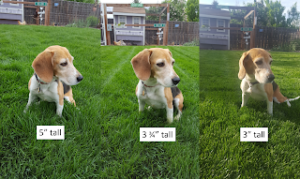 It's good to use a beagle as your measuring device for your lawn. At least the lawn isn't up to her knees anymore!