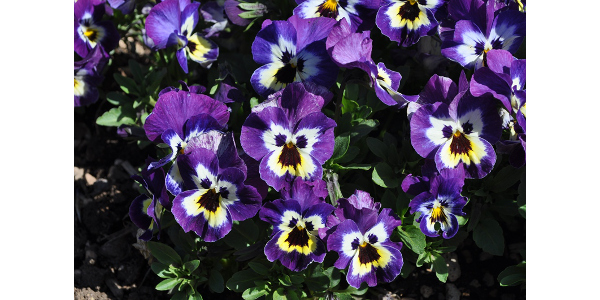Best of Show Pansy- 'FreefallXL Purple Face' from Floranova. (Courtesy of CSU Extension)