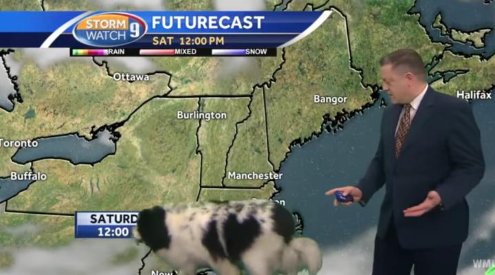 Dog casually crashes live weather forecast