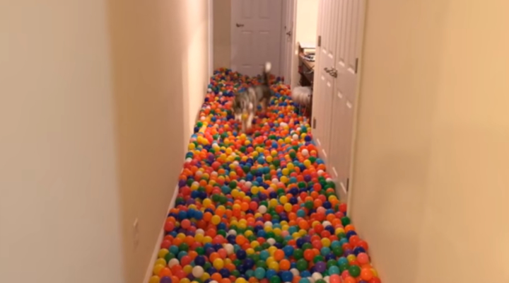 Guy makes giant ball pit for his dog after Toys'R'Us sale