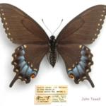 Ozark Woodland Swallowtail. (Photo credit: MU Extension)