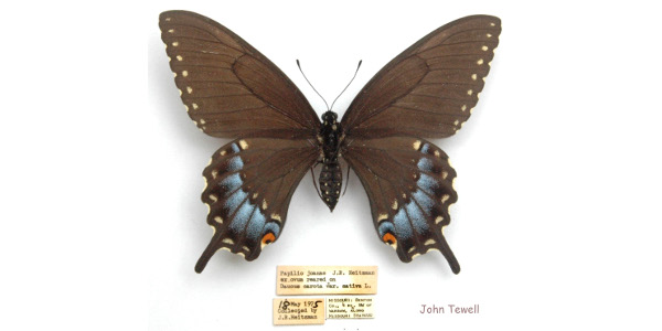 Ozark Woodland Swallowtail. (Photo credit: MU Extension)