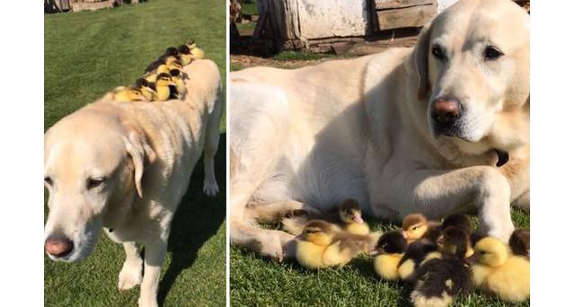 Labrador adopts 9 fluffy ducklings